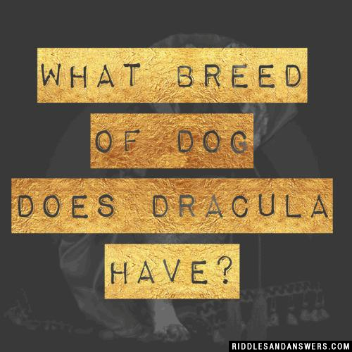 What breed of dog does Dracula have?