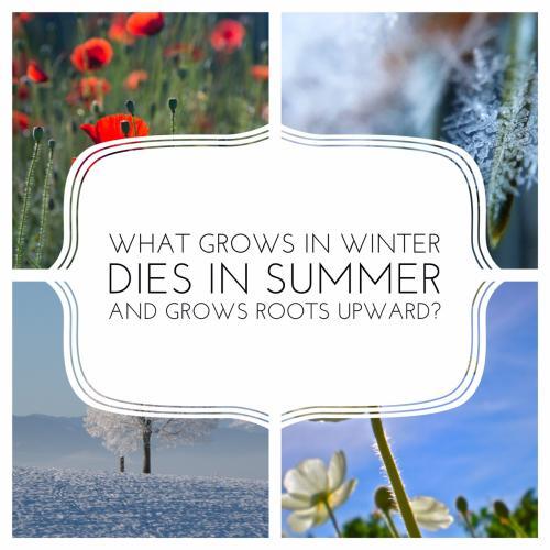 What grows in winter, dies in summer and grows roots upward?