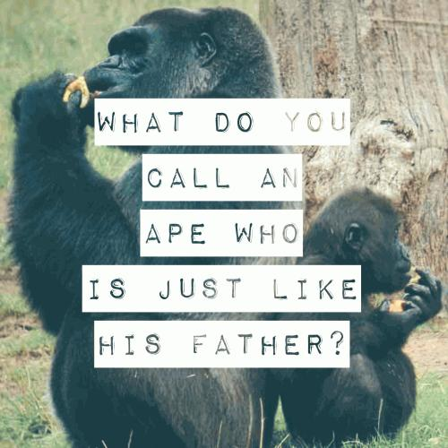 What do you call an ape who is just like his father?