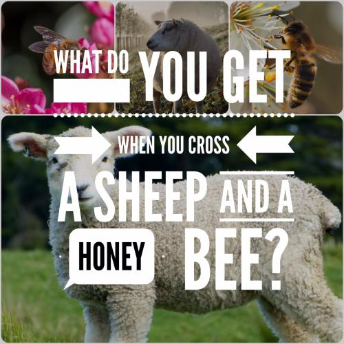 What do you get when you cross a sheep and a honey bee?