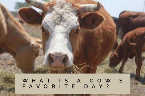 What is a cow's favorite day?