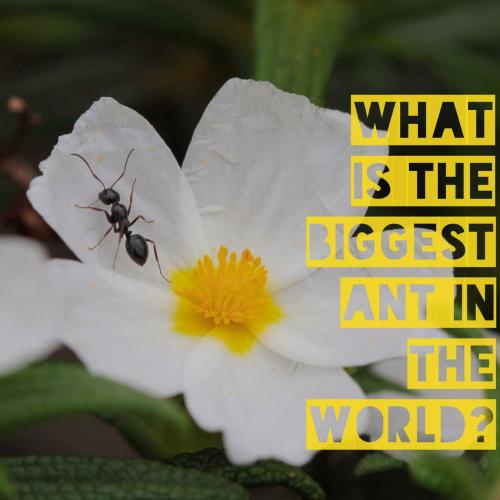 What is the biggest ant in the world?
