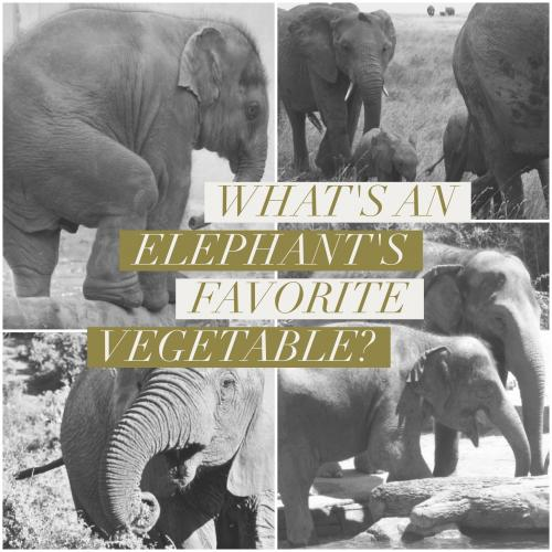 What's an elephant's favorite vegetable?