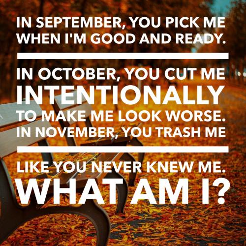 In September, you pick me when I'm good and ready.  In October, you cut me intentionally to make me look worse.  In November, you trash me like you never knew me.  What am I?