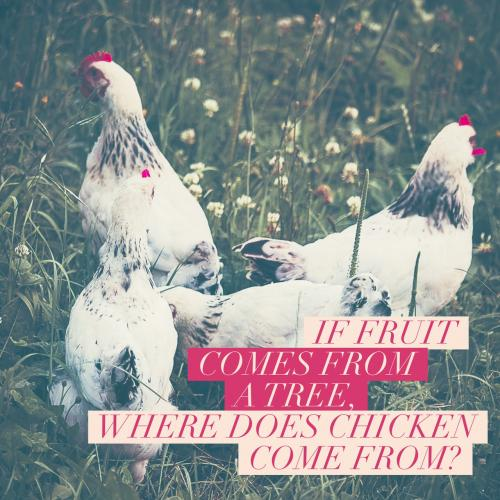 If fruit comes from a fruit tree, where does chicken come from?