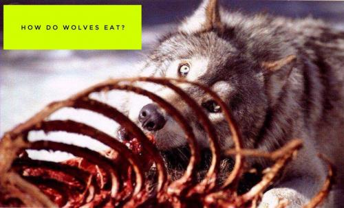 How do wolves eat?