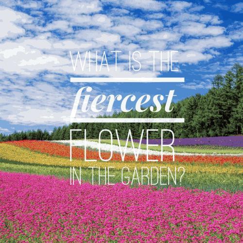 What is the fiercest flower in the garden?