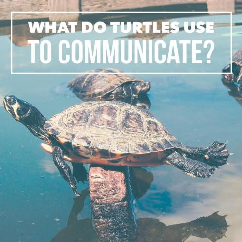 What do turtles use to communicate?