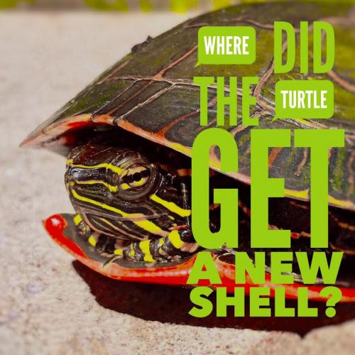 Where did the turtle get a new shell?