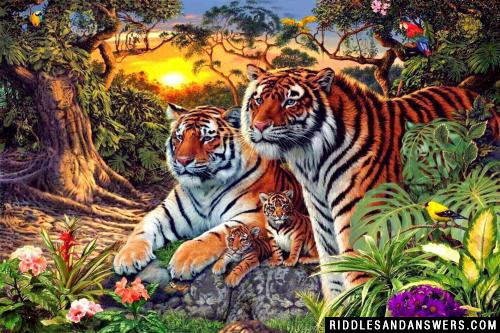 Look at the picture carefully. Can you tell the number of tigers that you see in the picture?